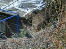 Stare auf Niederlassungen der Traube im Winter Stockfotografie