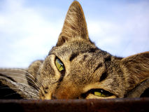 Stare of cat. With sky blue background Royalty Free Stock Photography