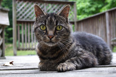 The stare of a cat. A dark tabby cat on an old deck staring right at you Stock Photography