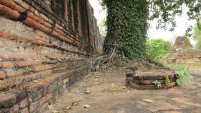 Stare cegieł ściany Z drzewem I pełzaczem obraz royalty free