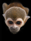 The stare of curious monkey. The monkey is staring at me Royalty Free Stock Images