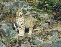 Stare del gatto selvatico Immagini Stock