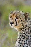 Stare del ghepardo Immagini Stock