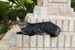 Stare del vicolo del gatto Fotografia Stock Libera da Diritti