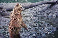 Stare dell'orso bruno Immagini Stock Libere da Diritti