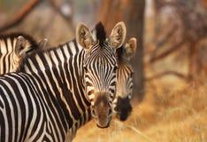Stare della zebra Fotografie Stock