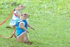 Stare delle marmotte Immagini Stock Libere da Diritti