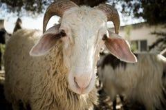 Stare delle pecore Immagini Stock Libere da Diritti