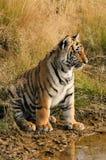 Stare des Mann tiger lizenzfreies stockfoto