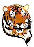 Stare des Mann tiger Stockfotos
