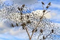 Stare, die auf den Niederlassungen gegen den Himmel mit Mengen von Vögeln sitzen Lizenzfreie Stockfotografie