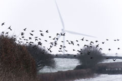 Stare, die vor Windkraftanlage fliegen Lizenzfreie Stockfotos