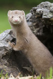 Stare down. Mink leaning on log in the afternoon in the mountains royalty free stock image