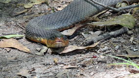Stare Down with Snake stock video footage