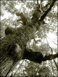 stare drzewo Obraz Stock