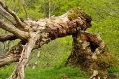 stare drzewo Obrazy Stock