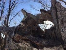 stare drzewo Zdjęcie Royalty Free