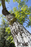 stare drzewo Obrazy Royalty Free