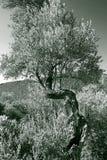 stare drzewo oliwne Zdjęcia Stock
