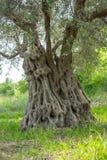 stare drzewo oliwne obraz stock