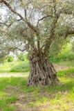 stare drzewo oliwne zdjęcia royalty free