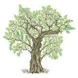 stare drzewo oliwne ilustracji