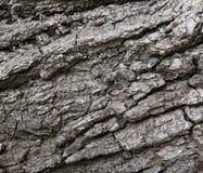 stare drzewo szczekać Obrazy Stock