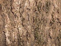 stare drzewo szczekać Zdjęcie Stock