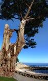 stare drzewo umiera Obrazy Royalty Free
