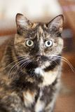 The Stare of the Feline. Wide-eyed stare into the camera of a long-whiskered, tortoise-shell colored house cat royalty free stock image