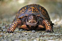 Stare fight with Eastern Box Turtle. Male Eastern Box turtle staring at camera ground level on gravel in daytime stock image