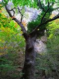 Stare gałąź bukowy drzewo obrazy royalty free
