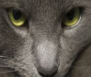 The stare. A grey cat stare down Royalty Free Stock Image