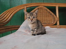 The stare of the Little kitten. The little kitten`s gaze on the rattan couch Royalty Free Stock Image