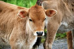 Stare looking young brown calf. Baby Royalty Free Stock Image