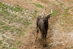 Stare maschio dei nyalas Fotografia Stock