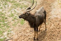 Stare maschio dei nyalas Fotografie Stock