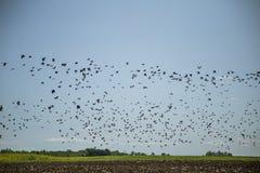 Stare och vipor som är klara för flyttning över fältet Flock av fåglar som flyger till söder i höst arkivbild