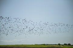 Stare och vipor som är klara för flyttning över fältet Flock av fåglar som flyger till söder i höst arkivbilder