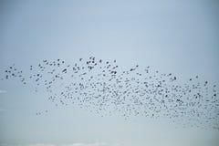 Stare och vipor som är klara för flyttning över fältet Flock av fåglar som flyger till söder i höst royaltyfri fotografi