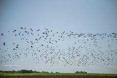Stare och vipor som är klara för flyttning över fältet Flock av fåglar som flyger till söder i höst arkivfoton