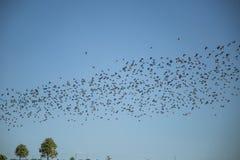 Stare och vipor som är klara för flyttning över fältet Flock av fåglar som flyger till söder i höst arkivfoto