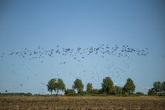 Stare och vipor som är klara för flyttning över fältet Flock av fåglar som flyger till söder i höst royaltyfri bild