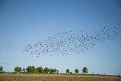 Stare och vipor som är klara för flyttning över fältet Flock av fåglar som flyger till söder i höst royaltyfria bilder
