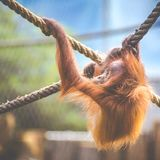Stare of an orangutan baby, hanging on thick rope. A little great ape is going to be an alpha male. Human like monkey cub in shagg Stock Photos