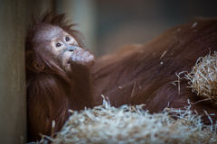 Stare of an orangutan baby, hanging on thick rope. A little great ape is going to be an alpha male. Human like monkey cub in shaggy red fur royalty free stock photography