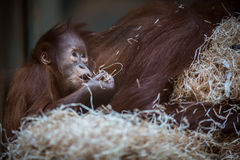 Stare of an orangutan baby, hanging on thick rope Royalty Free Stock Images