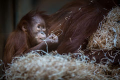 Stare of an orangutan baby, hanging on thick rope Stock Photo