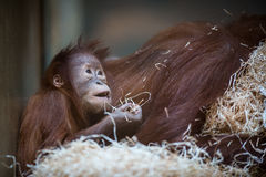 Stare of an orangutan baby, hanging on thick rope Stock Photos
