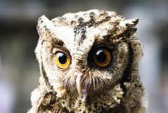 Stare of an owl Stock Images